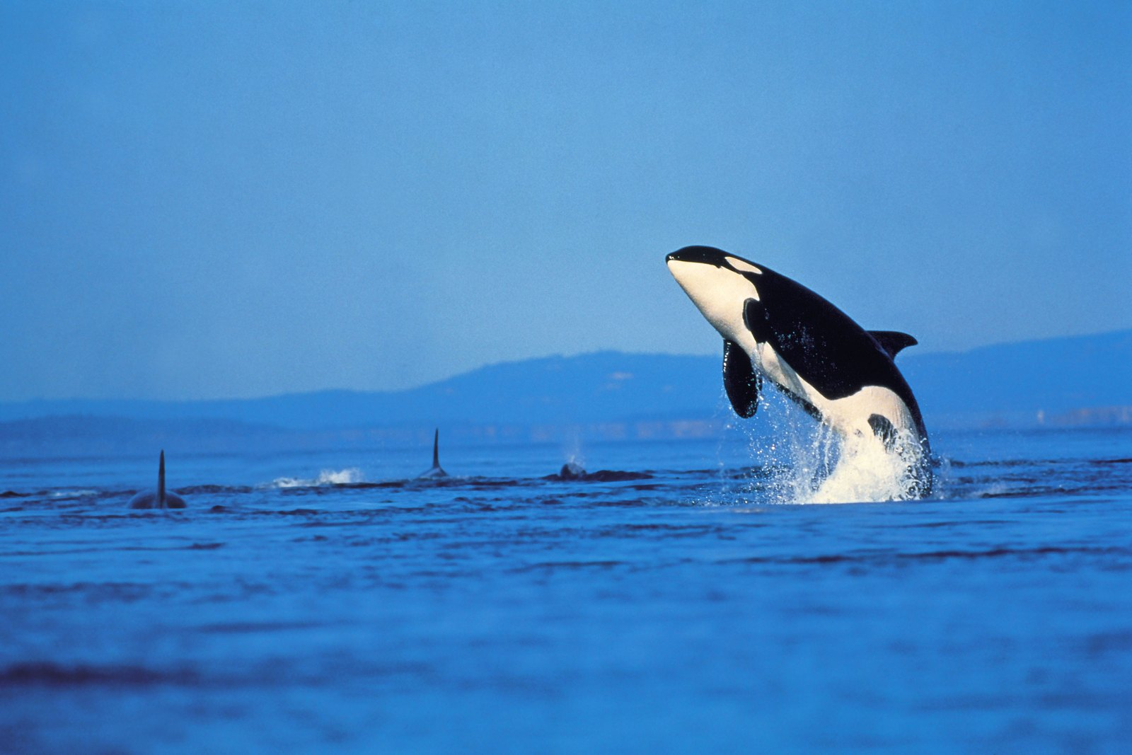 Orca Killer Whale Desktop Wallpaper 06574
