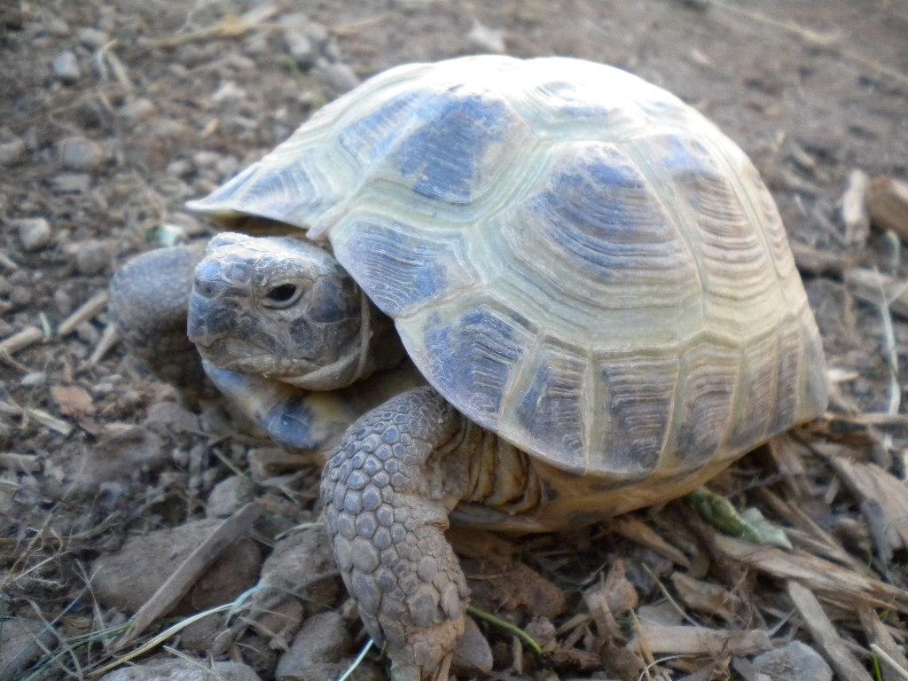 Russian Tortoise Background Wallpaper 08091