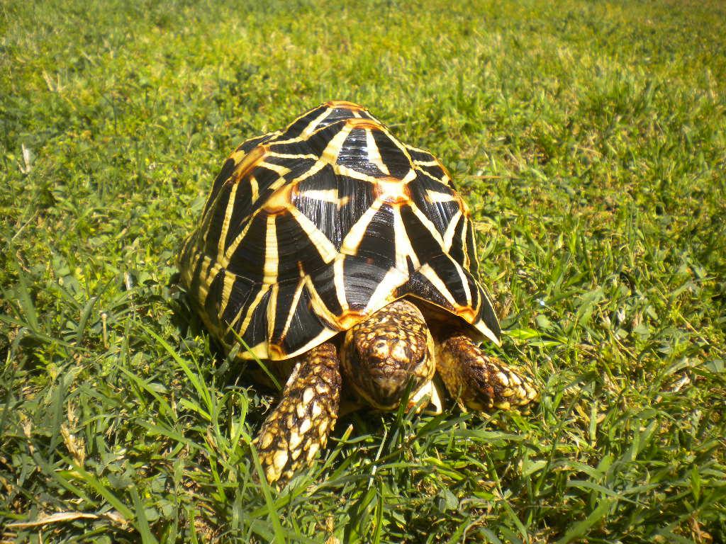 Star Tortoise Images 08105