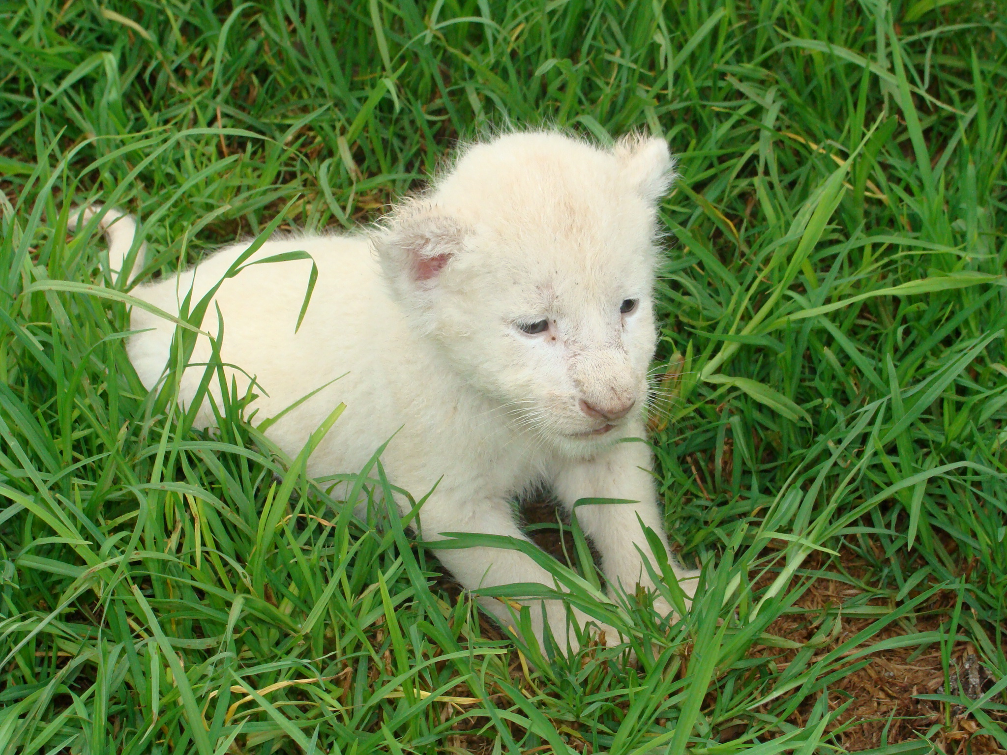 Baby White Lion Background Wallpaper 18658