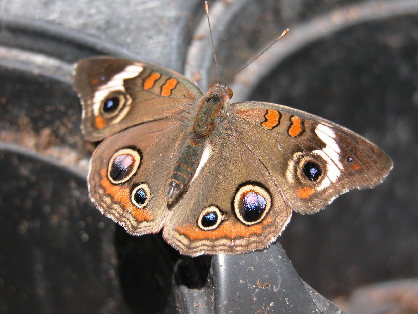 Common Buckeye HD Wallpapers 19946