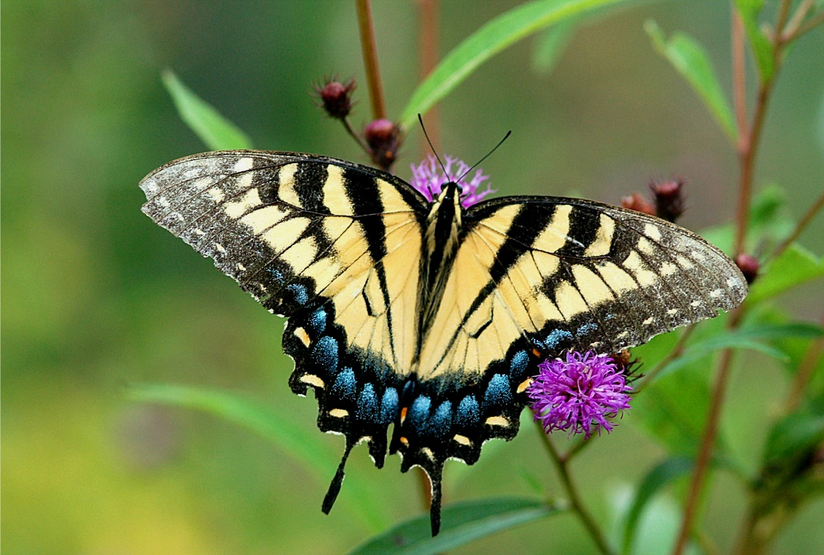 Eastern Tiger Swallowtail HD Wallpapers 20054