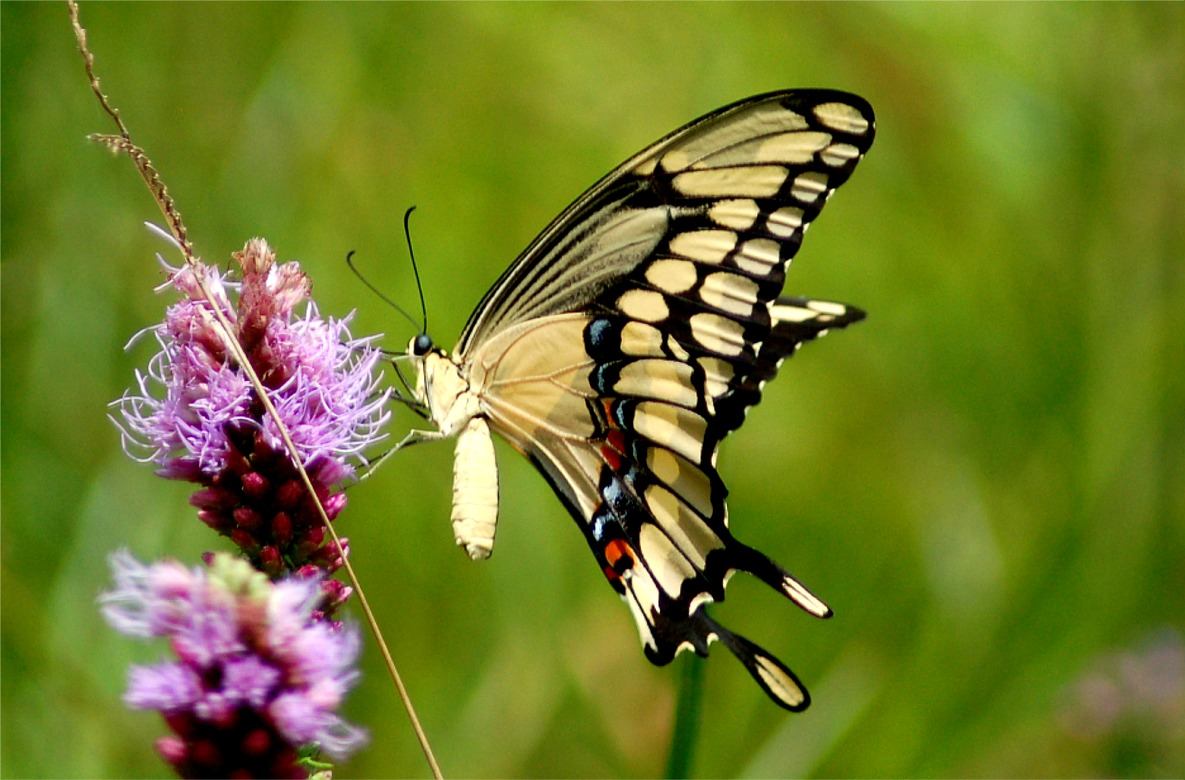 Papilio Cresphontes Background Wallpaper 20293