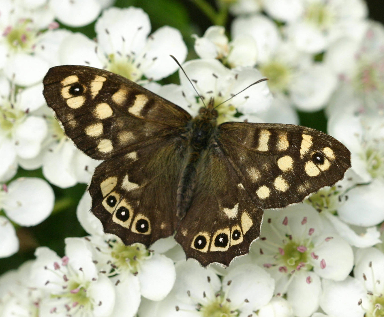 Speckled Wood HD Wallpapers 20445