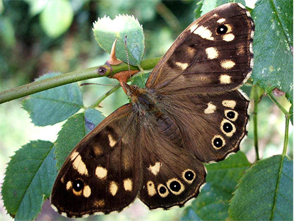Speckled Wood Widescreen Wallpapers 20450