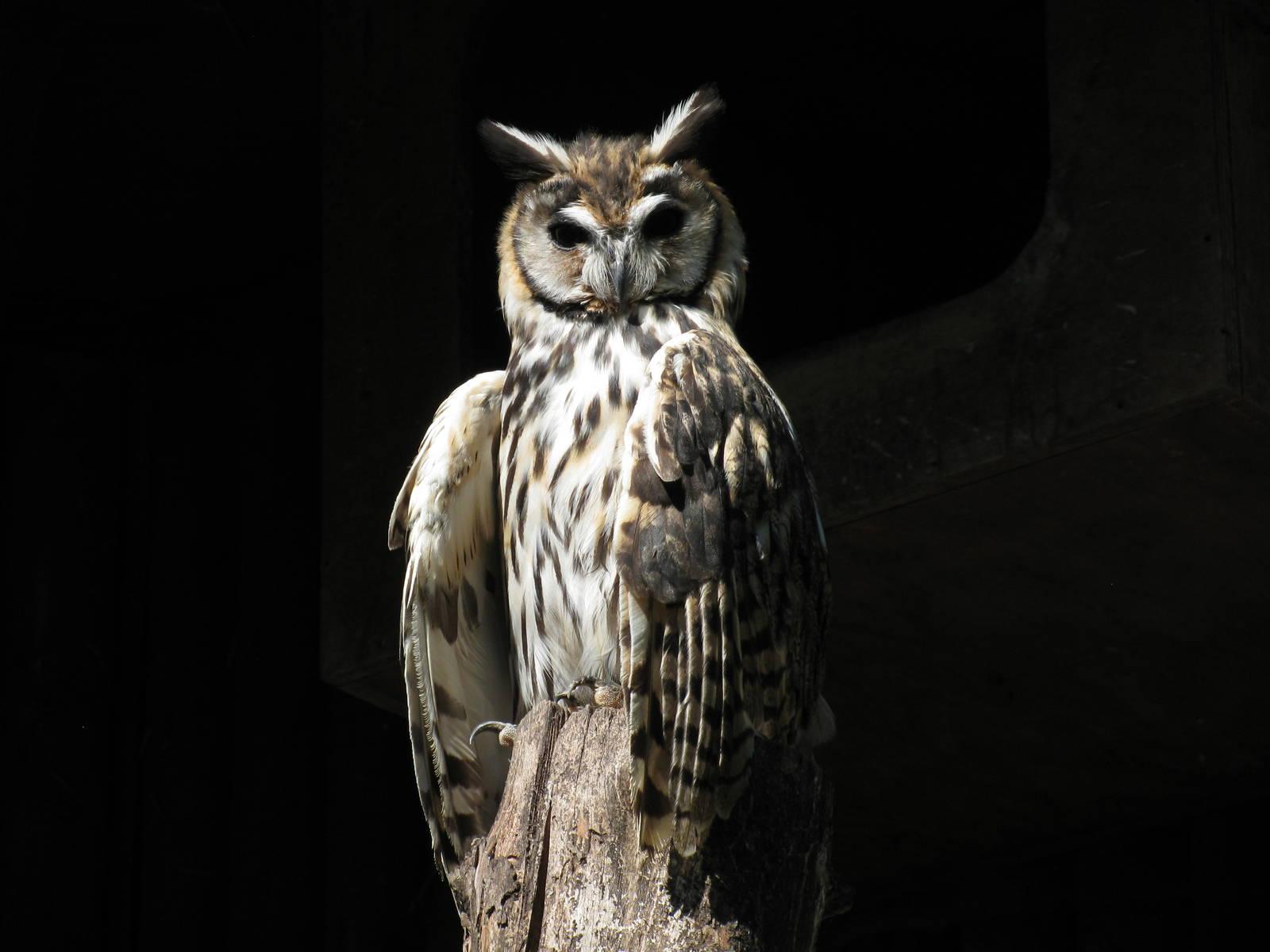 Striped Owl HD Wallpaper 20455