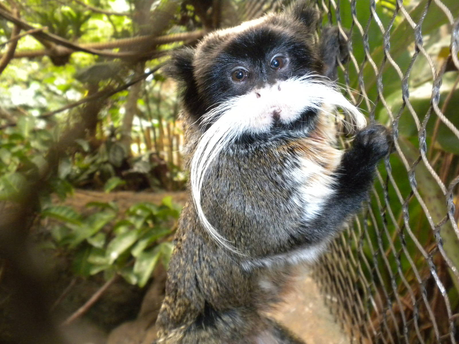 Emperor Tamarin Best Wallpaper 27769