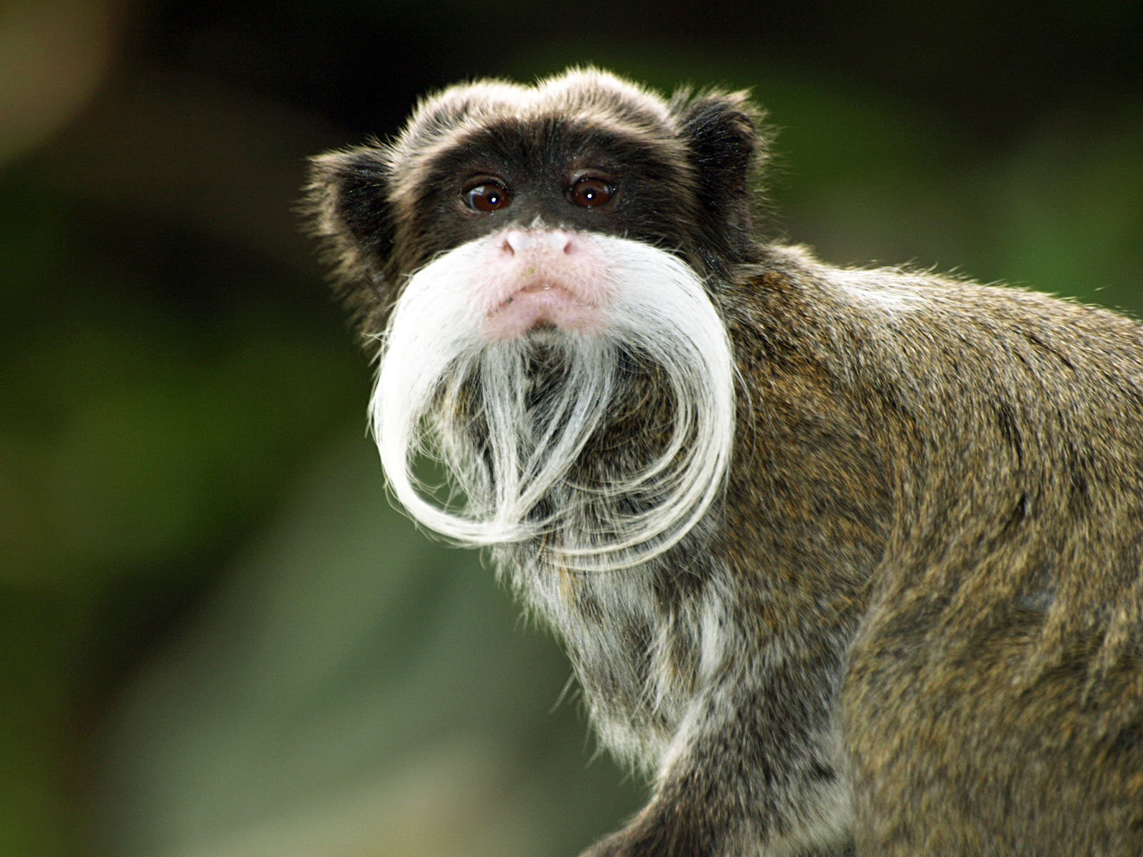 Emperor Tamarin HD Wallpapers 27772