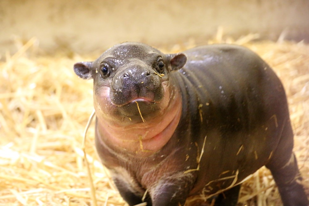 Pygmy Hippopotamus HD Wallpapers 28159